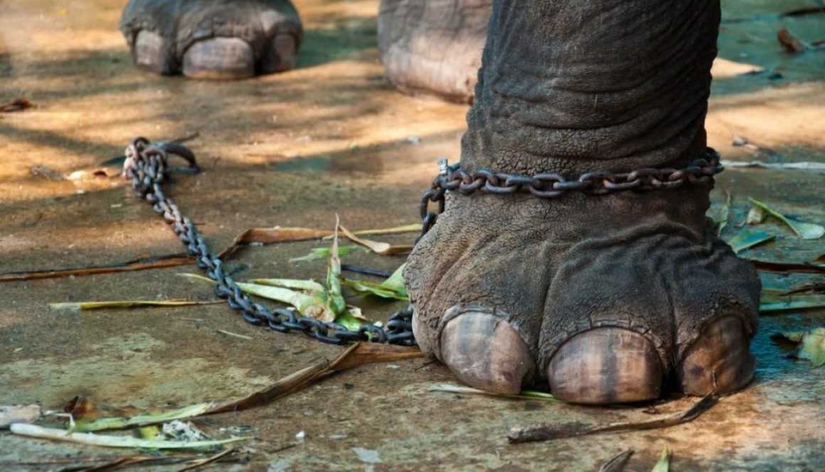 elephant-chained-shutterstock_71627536